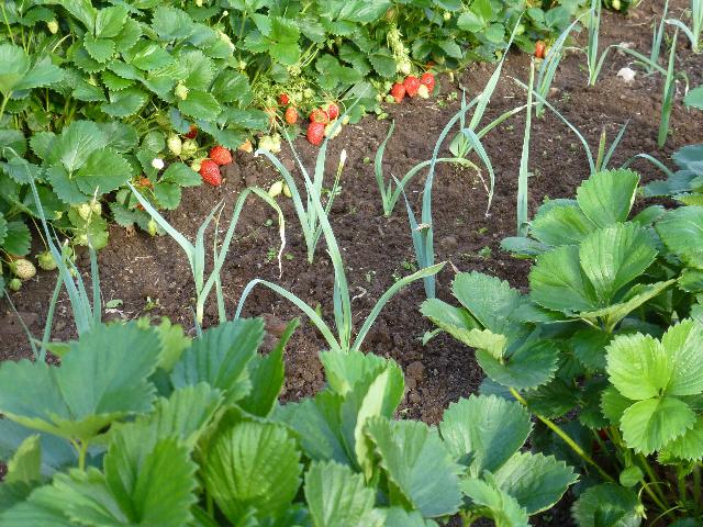 fraises et poireaux