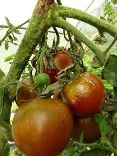 tomate atteinte par le mildiou