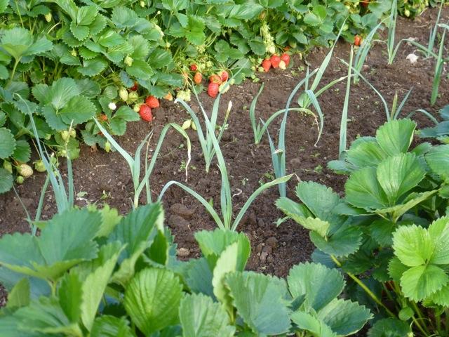 association fraises poireaux