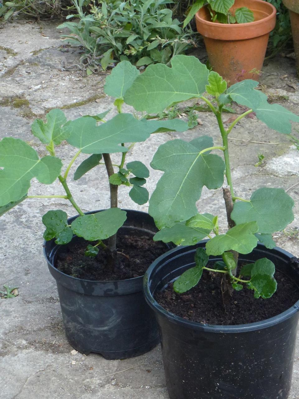 Jeune plant de figuier - Faut il tailler un citronnier ...