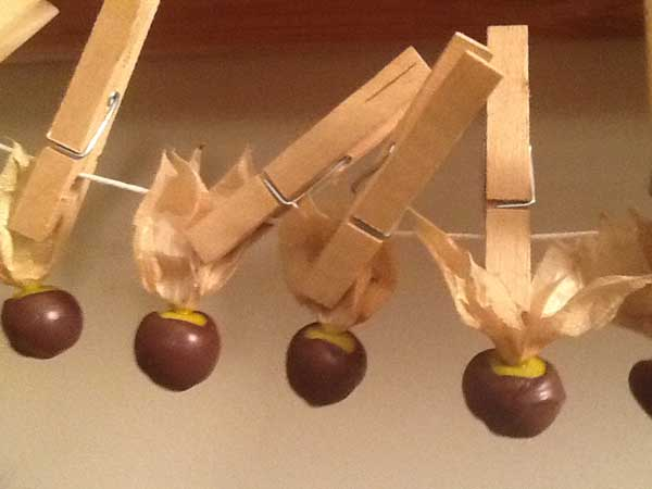 fruit du coqueret du Pérou