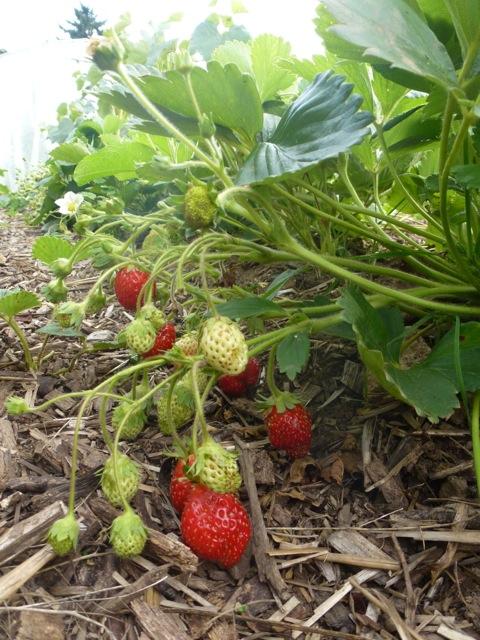 planter fraises resultat plantation fraises dans fut et. Black Bedroom Furniture Sets. Home Design Ideas