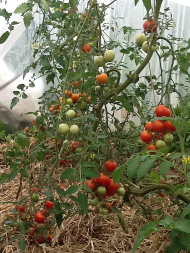 Espace entre pied de tomate - Espace entre les pieds de tomates ...