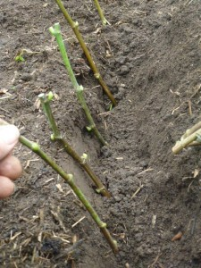 plantation du figuier