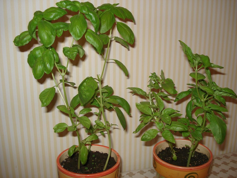 amazing cultiver basilic en pot 2 culture du basilic en cuisine