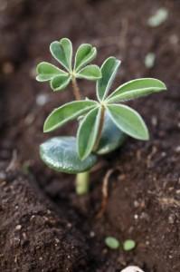 jeunes plants de lupins