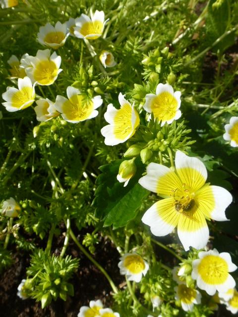 limnanthes, oeufs sur le plat