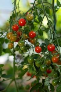 tomate pomodoro cherry
