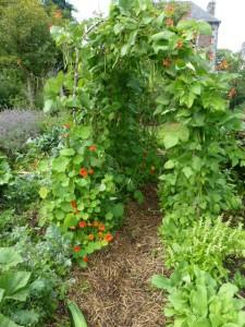 haricot d'Espagne plante ornementale