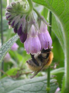 consoude et abeilles