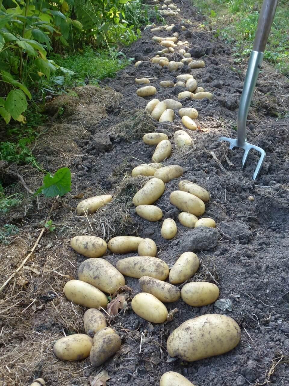 A la louange de la pomme de terre amandine - Variete de pomme de terre ancienne ...