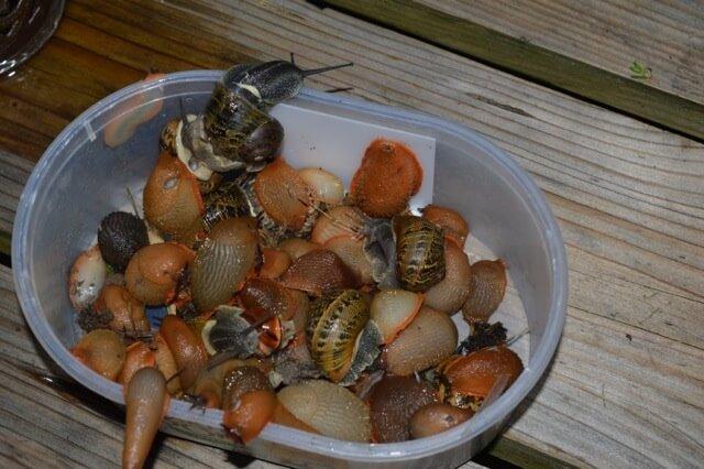 Liminer escargots et limaces - Pieges a limaces fait maison a base de biere ...