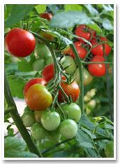 image-tomate