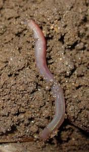 ver de terre une aide précieuse au jardin