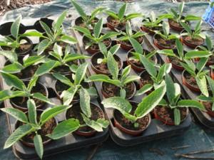 Plants de consoude préparés à partir de mes propres boutures