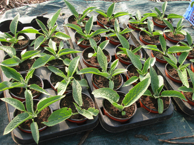 plants de consoude en pots