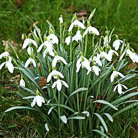 fleurs de perce-neige