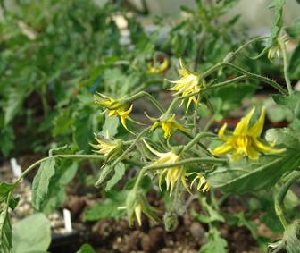 tomates en fleurs