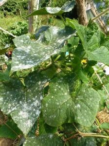 attaque d'oïdium sur concombre