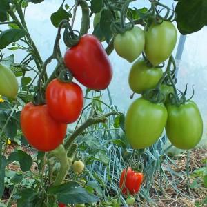 variété de tomate marzano