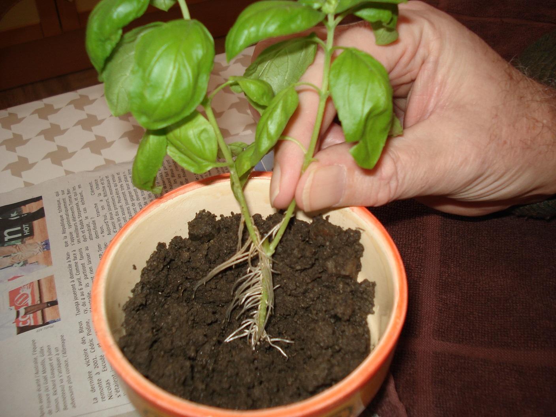 Plantation du basilic - Ou planter le basilic ...