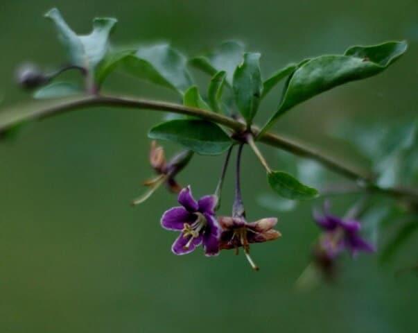 fleurs de gojis