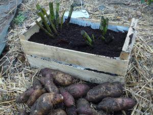 plants  de poires de terre