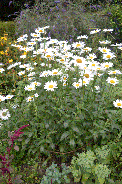 tuteurage des marguerites