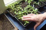 Comment avoir des jeunes plants costauds