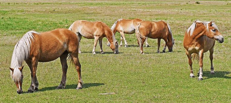 petit troupeau de chevaux
